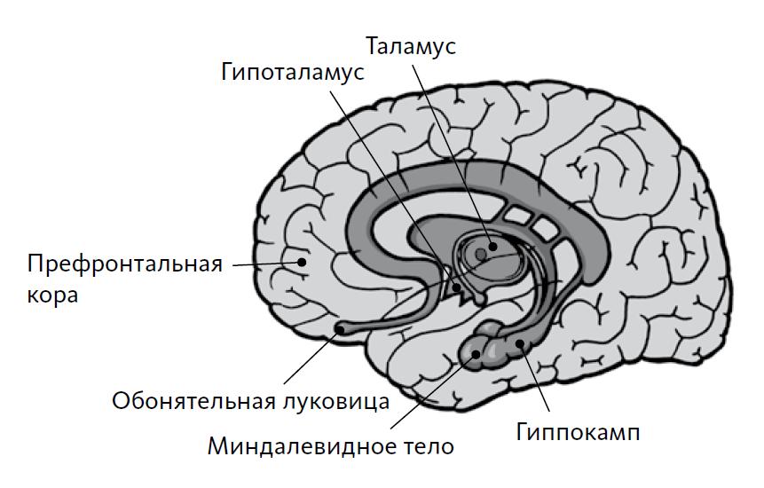 Области мозга, представляющие наибольший интерес для нейромаркетологов: миндалевидное тело, гиппокамп, таламус и префронтальная кора